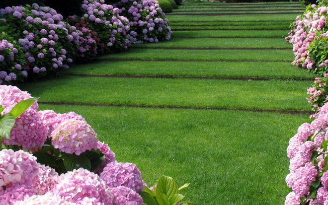 garden hydrangea early varieties